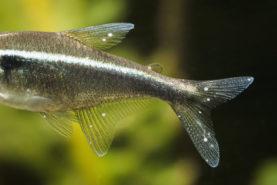 poisson points blancs