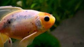 poisson malade