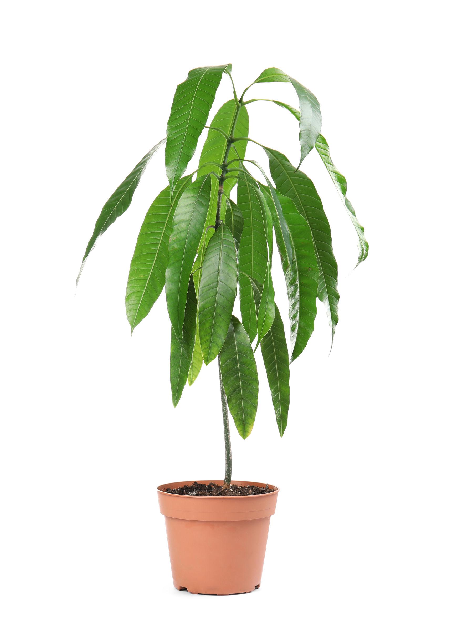 jeune plant manguier