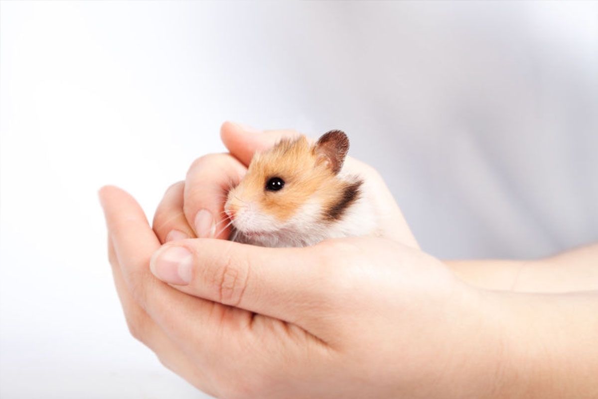 adopter hamster