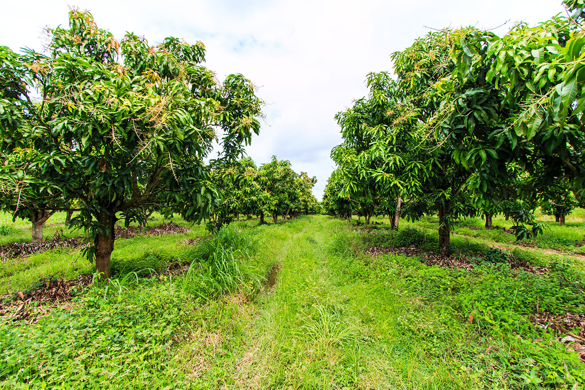 arbres fruitiers mangues